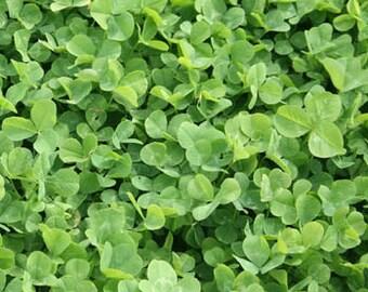 Mini Clover Grass Seeds/Trifolium repens/Perennial   100+