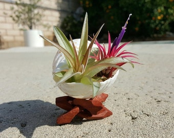 Tillandsia display, air plant display with TWO plants, air plant beach shell display with stand