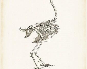 Bird Skeleton - Bird Art - Bird Picture - Bird Drawing - Skeleton Art - Antique Medical - Antique Scientific - Bones - Anatomy - Oddities