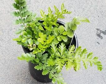 Tropical Austral Gem Fern Plant