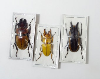 Manly Stag Beetle Trio,  Real Insects Unmounted