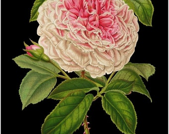 antique french botanical print rose marie aviat illustration digital download black background