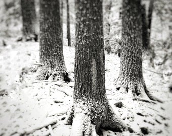 Winter hemlocks, 8x10 black & white fine art photograph, nature