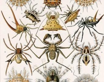 Art Forms in Nature: Ernst Haeckel,  Arachnida, 1900. Fine Art Reproduction.