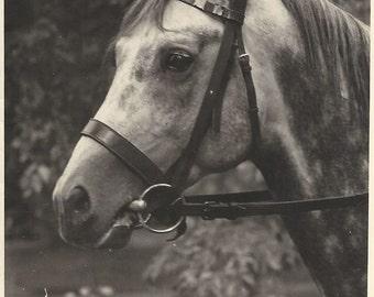 Beauty of Poland - Vintage 1930s Bridled Grey Arabian Horse Silver Gelatin Print Photograph