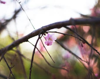 pink spring blossoms, weeping cherry tree photography print