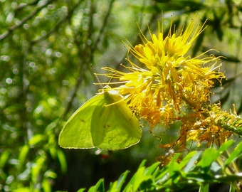 Yellow Spiderflower with Butterfly