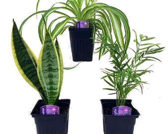"Hirt's Houseplant Collection - Includes Snake Plant / Spider Plant / Parlor Palm - 4"" Pots"