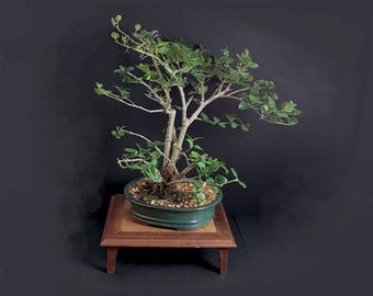 "Natal Plum Bonsai Tree ""Summer'17 Fruiting Collection by LiveBonsaiTree"""