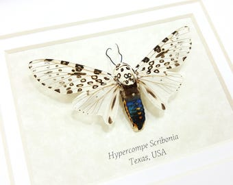 FREE SHIPPING Real Framed Hypercompe Scribonia Giant Leopard Moth Taxidermy High Quality A1-/A-