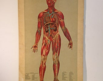 1885 Wall Chart of the Human Body, Rare Original 17x29 Hand-Colored Anatomy Chart