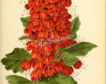 flowers-29128 - greyia sutherlandi Natal bottlebrush South African plant endemic red botanical vintage printabele picture print jpg format