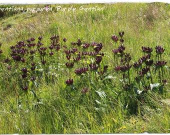 Gentiana purpurea 'Purple Gentian' 50+ SEEDS