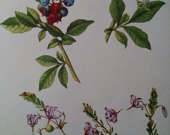 Highbush blueberry and cranberry antique botanical litho print 1954