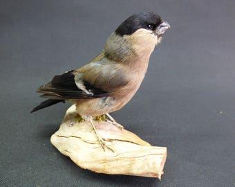 TAXIDERMY Female Bullfinch (no.58) On Driftwood. Garden Bird. Pyrrhula pyrrhula