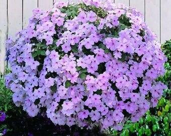 1,000 Bulk Impatiens seeds Impatiens Cascade Beauty Pink