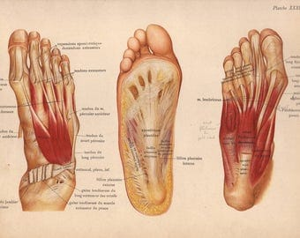 1905 foot muscles, tendons & ligaments print - Human anatomy, leg physiology, medical wall decor - 112 yr old victorian illustration (C573)