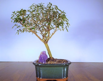 Mt Fuji serrisa bonsai with a purple amethyst crystal in a dark olive pot. This bonsai will produce a small white flower!