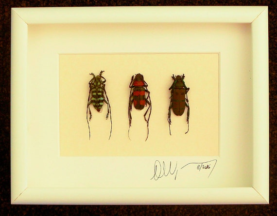 Artframe with real insects : Topquality insect frame with beautiful trio of flowerbeetles FREE SHIPPING