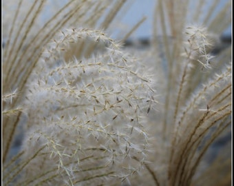 Wheat Grass, art photo, photography, art, home decor