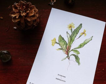 Burren Flora Series: Primrose A6 Illustration Print