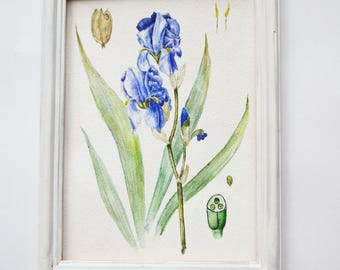 Original watercolor painting  Botanical illustration  Flower painting  Watercolor flower painting  Small painting  IRIS