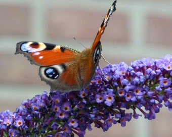Aglais io Butterfly on a Buddleja davidii Flower Photo, Nature Photography