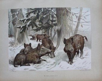 old lithography wild boar 1897