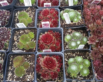 Hens and chicks , cobweb, sempervivum arachnoideum, fairy garden,live succulents cobwebbed, fairy, cobweb, houseleek,Succulents, 5 for 25.00