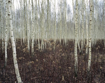 Birches Photography - Birch Forest Photo - Forest Printable - Misty Forest Print - Digital Photo - Digital Download - Instant Download