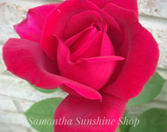 Original Photography Perfect Red Rose  Rose Garden Nature Photo Floral Photo Wall Decor Flowers Landscape Photo Housewarming Gift Birthday