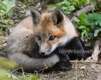 Baby Fox #6189