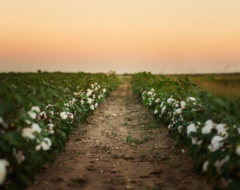 Cotton Field Sunset Background