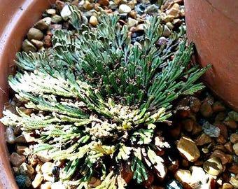 Rose of Jericho, Resurrection Plant, Desert Fern