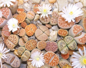 Lithops seeds mix (Living stones) / 50 seeds