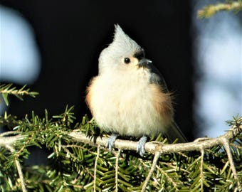 Tufted Titmouse in the Pines