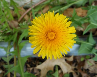 Picture of a dandelion, close up photography, pictures of flowers, digital download, yellow flowers, nature photos, printable pictures