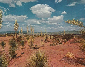 New Mexico Vintage Postcard - Desert Yucca, New Mexico State Flower