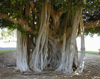 500 Ficus benghalensis Seeds , Indian Banyan. banyan, Bengal fig, Indian fig, East Indian fig