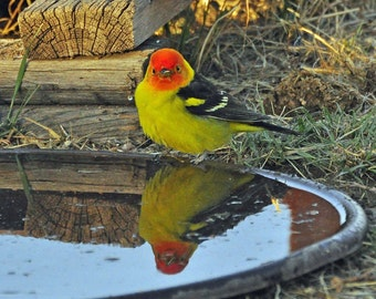 Western Photography SD > Western Tanager Bird of the Southwest Bird Watching Wildlife Birds