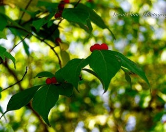 Cherry on a Leaf, Photography, Home Decor