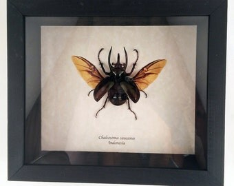 Real beetle framed - Chalcosoma caucasus