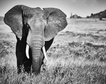 Bull Elephant Serengeti, Black and White Print/Canvas, Tanzania, Africa