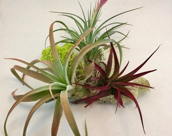 Medium Size Tillandsia Air Plant