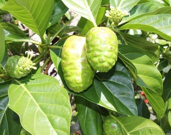 10 seeds/pack NONI Seeds Delicious Fruit Morinda Citrifolia Tree Seed