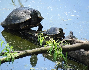 Momma and baby turtles