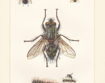 Vintage lithograph of tachina flies, tachinids, giant tachinid fly from 1956