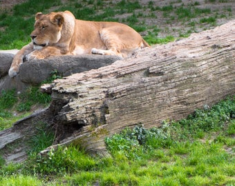 Lioness in the sun