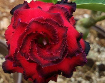 Great Fortunes  Adenium Desert Rose 2 Seeds dark red spiral petals with black edge double flowers big blooms