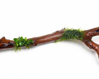 "12"" Manzanita Driftwood with Anubias Nana Petite and Xmas Moss Attached WYSIWYG - Aquarium Plants"